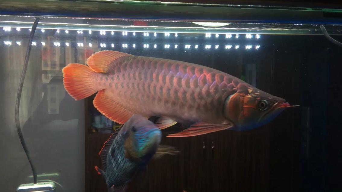 马印神灯红鱼不红水 北京龙鱼论坛 北京龙鱼第1张