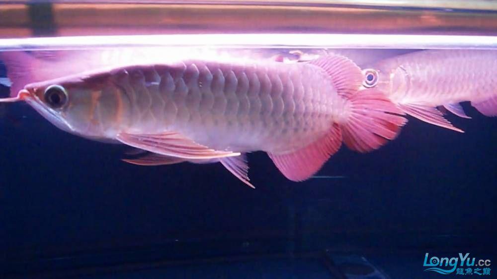 山塔尔精品超血王003 25cm 大翘头大胸鳍 6500 北京观赏鱼 北京龙鱼第3张