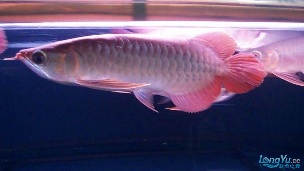 山塔尔精品超血王003 25cm 大翘头大胸鳍 6500 北京观赏鱼 北京龙鱼第2张