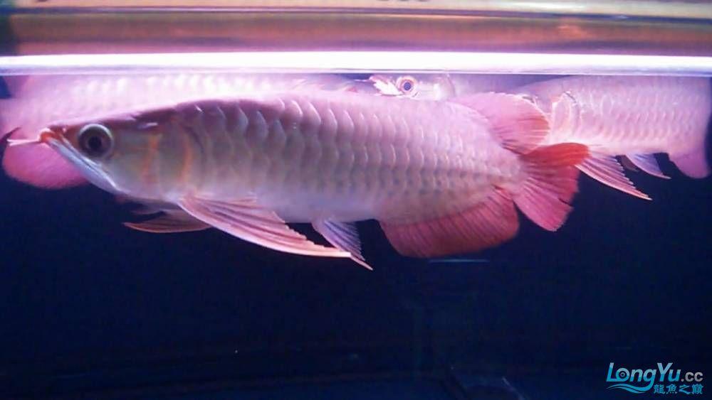 山塔尔精品超血王003 25cm 大翘头大胸鳍 6500 北京观赏鱼 北京龙鱼第4张
