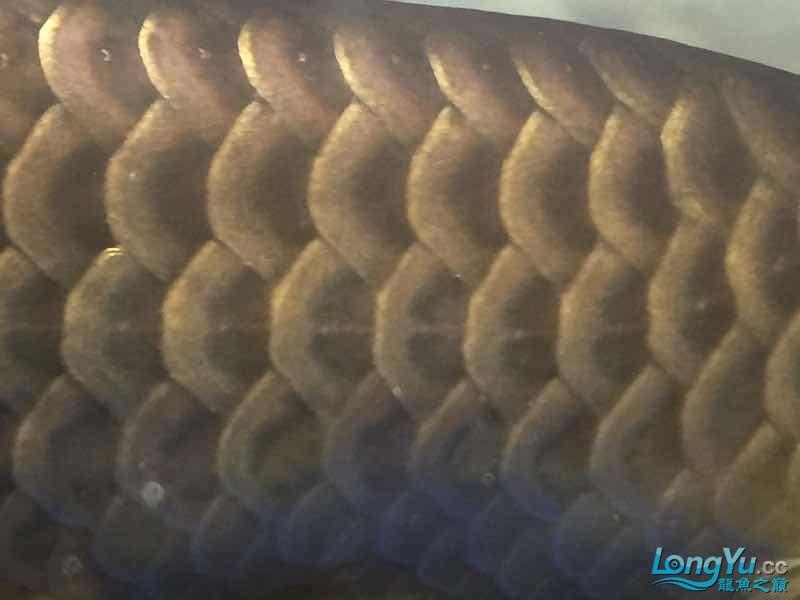 北京银龙鱼鱼苗求大神签定 北京龙鱼论坛 北京龙鱼第2张