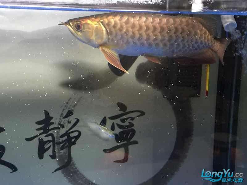 北京银龙鱼鱼苗求大神签定 北京龙鱼论坛 北京龙鱼第3张