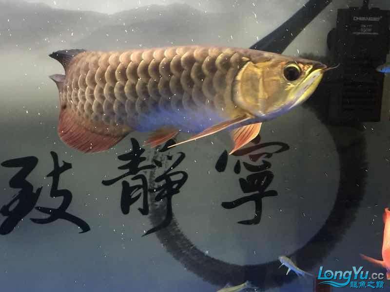 北京银龙鱼鱼苗求大神签定 北京龙鱼论坛 北京龙鱼第4张