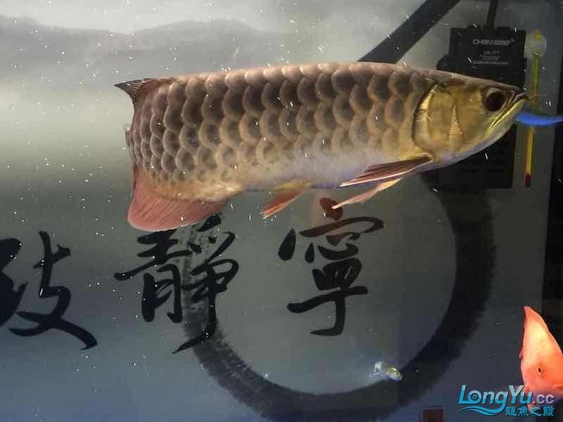 北京银龙鱼鱼苗求大神签定 北京龙鱼论坛 北京龙鱼第5张