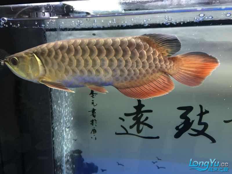 北京银龙鱼鱼苗求大神签定 北京龙鱼论坛 北京龙鱼第8张
