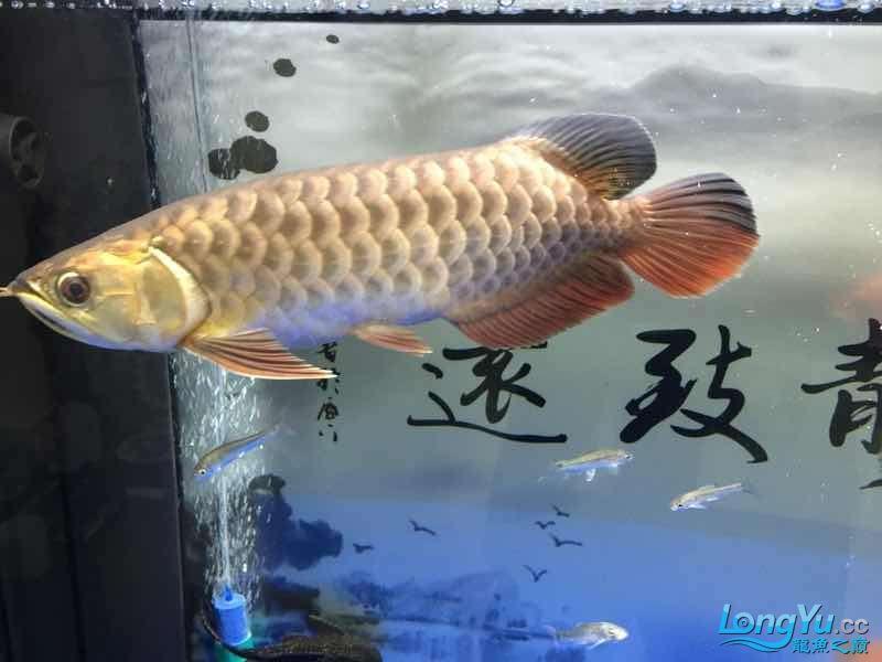 北京银龙鱼鱼苗求大神签定 北京龙鱼论坛 北京龙鱼第7张