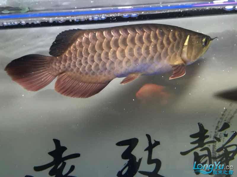北京银龙鱼鱼苗求大神签定 北京龙鱼论坛 北京龙鱼第9张