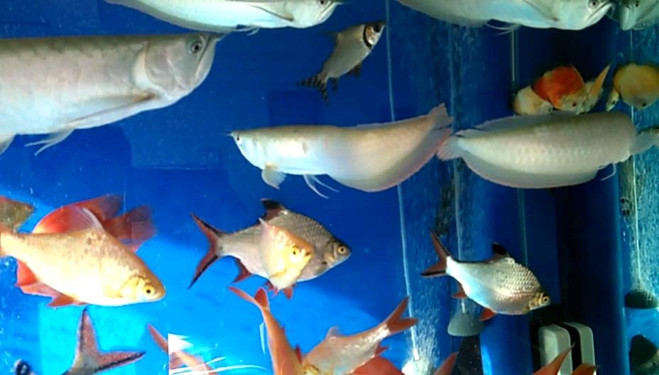 晒晒更健康龙鱼龙巅 北京观赏鱼 北京龙鱼第1张