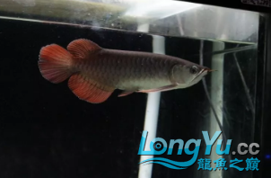 龙鱼不同阶段喂养你做对了吗? 北京龙鱼论坛 北京龙鱼第1张