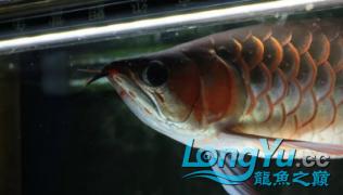 龙鱼不同阶段喂养你做对了吗? 北京龙鱼论坛 北京龙鱼第2张