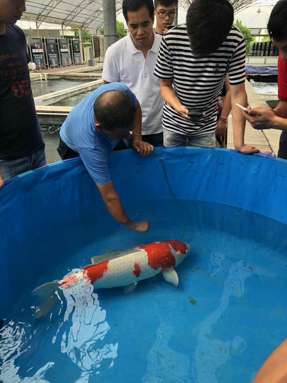 十五岁的锦鸿 北京龙鱼论坛 北京龙鱼第1张