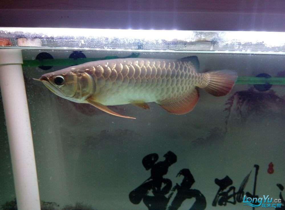请高手鉴定下我的小金北京哪个水族店有白化大白龙 北京观赏鱼 北京龙鱼第2张