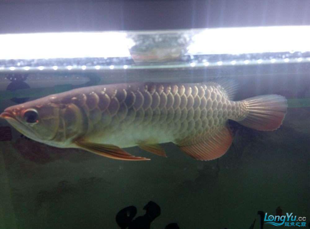 请高手鉴定下我的小金北京哪个水族店有白化大白龙 北京观赏鱼 北京龙鱼第1张