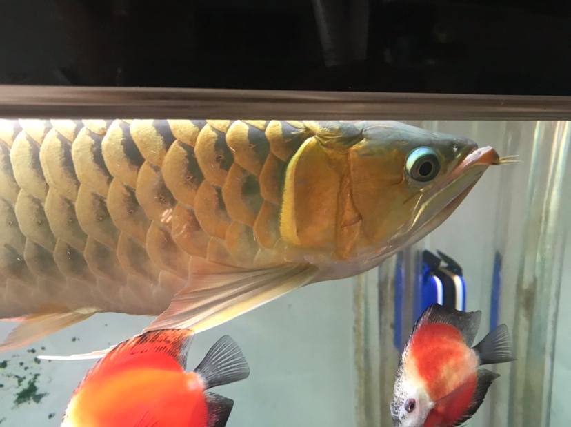 女皇大帆求高手指点龙鱼圈 北京观赏鱼 北京龙鱼第2张