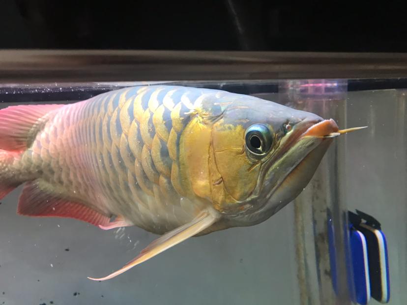 女皇大帆求高手指点龙鱼圈 北京观赏鱼 北京龙鱼第1张