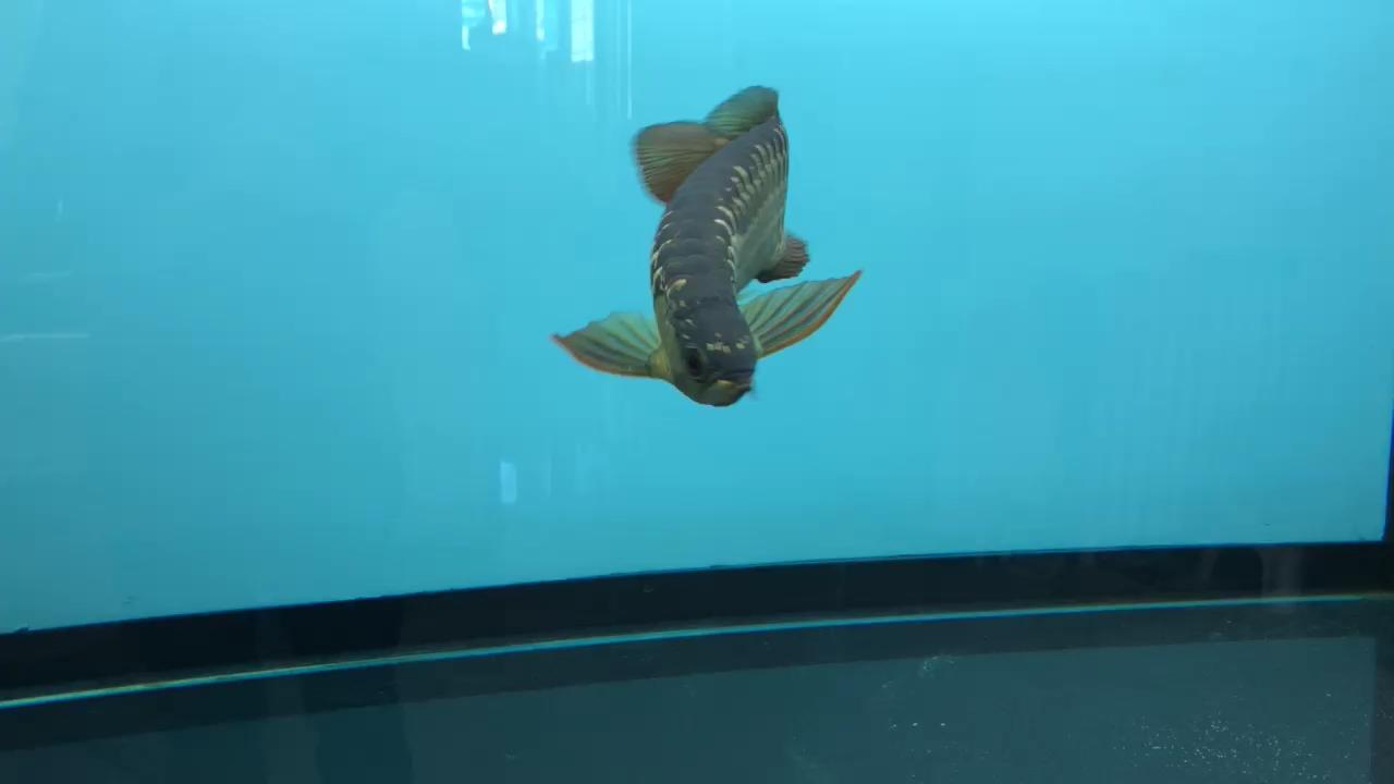 品质如何无所谓北京哪个水族店有帝王三间玩的就是状态北京玫瑰银板鱼怎么养 北京龙鱼论坛 北京龙鱼第1张