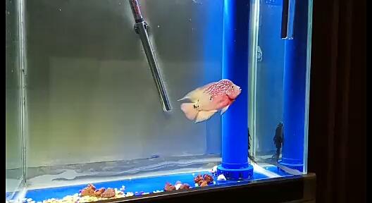晒晒鱼罗汉北京印尼小红龙鱼 北京龙鱼论坛 北京龙鱼第1张