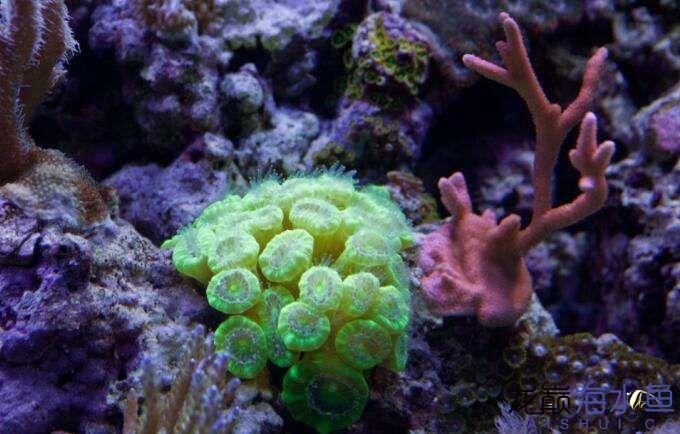 珊瑚定期多长时间打理一次呢