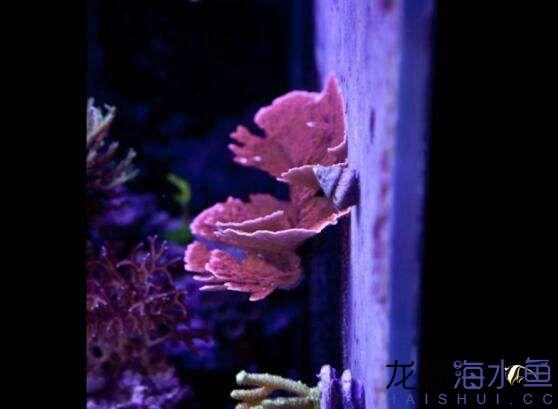 珊瑚定期多长时间打理一次呢 北京观赏鱼 北京龙鱼第2张