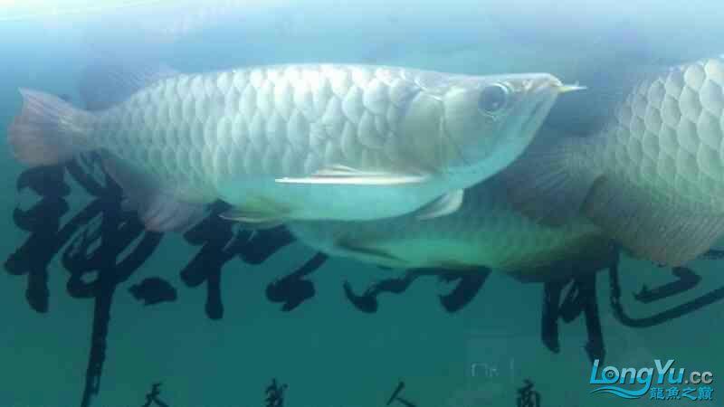 龙鱼腹胀如何治疗 北京观赏鱼 北京龙鱼第2张