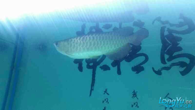 龙鱼腹胀如何治疗 北京观赏鱼 北京龙鱼第3张
