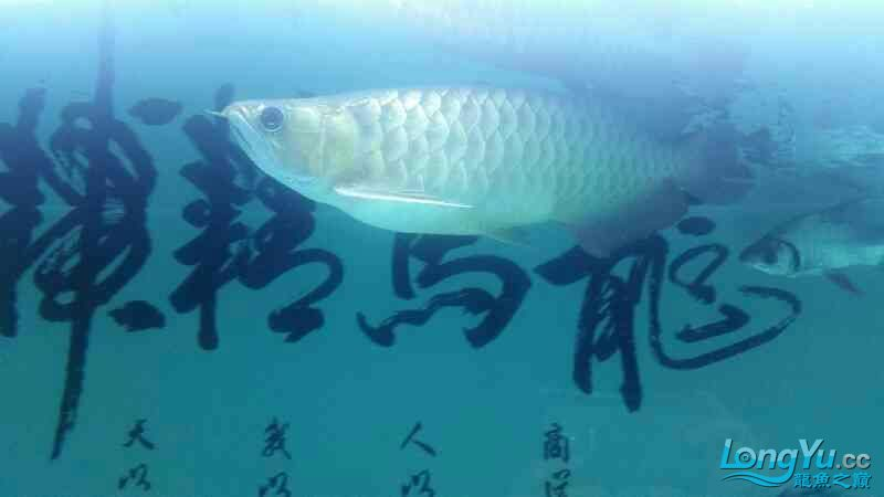龙鱼腹胀如何治疗 北京观赏鱼 北京龙鱼第4张