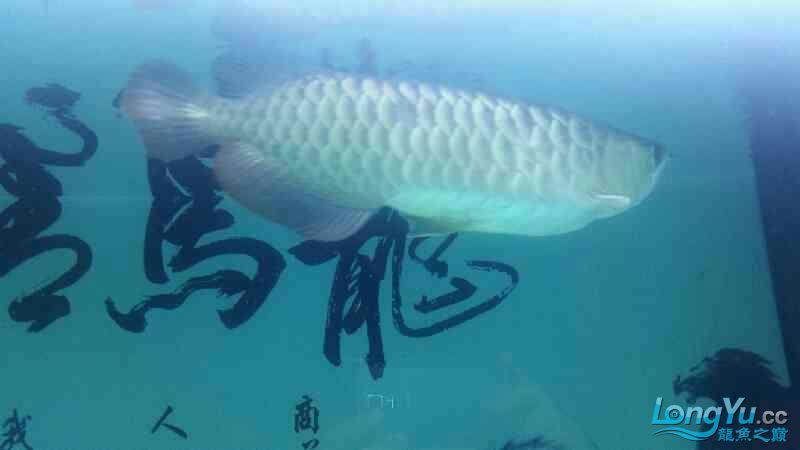 龙鱼腹胀如何治疗 北京观赏鱼 北京龙鱼第5张
