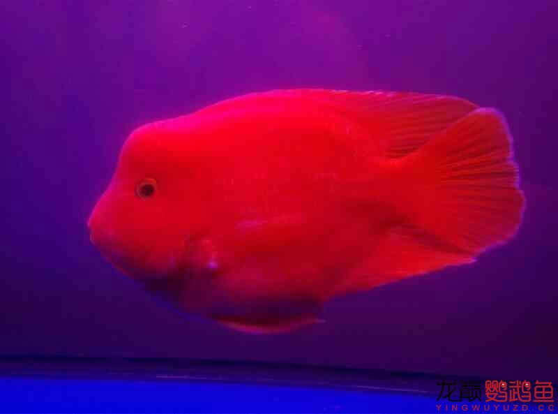 申请罗师傅~我的龙鱼配鹦鹉 北京观赏鱼 北京龙鱼第1张
