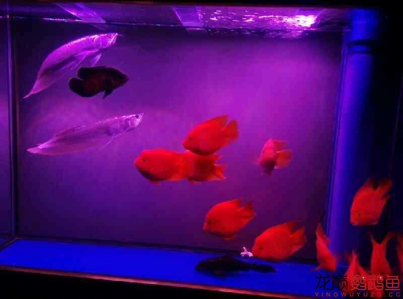 申请罗师傅~我的龙鱼配鹦鹉 北京观赏鱼 北京龙鱼第4张