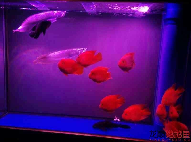 申请罗师傅~我的龙鱼配鹦鹉 北京观赏鱼 北京龙鱼第2张