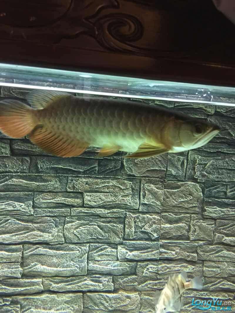 老司机帮我看看什么品种 北京观赏鱼 北京龙鱼第1张