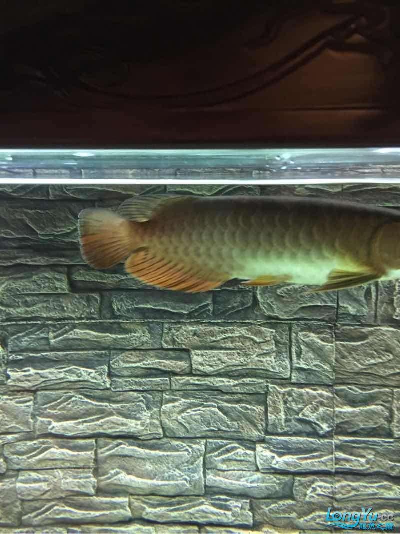老司机帮我看看什么品种 北京观赏鱼 北京龙鱼第2张