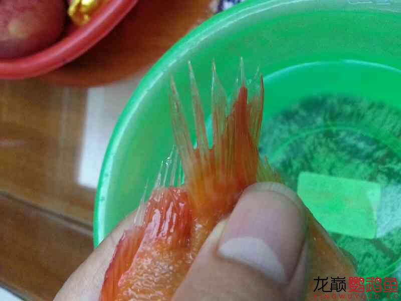 十万火急求大神 北京观赏鱼 北京龙鱼第4张