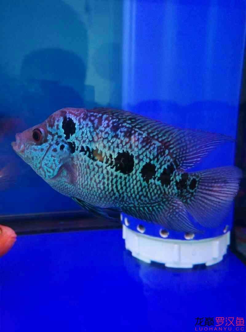 北京有转让泰国虎鱼起头有望吗? 北京龙鱼论坛 北京龙鱼第1张