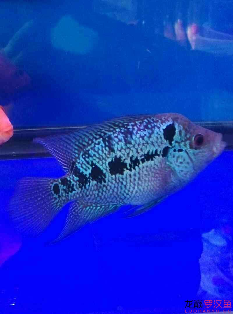 北京有转让泰国虎鱼起头有望吗? 北京龙鱼论坛 北京龙鱼第2张