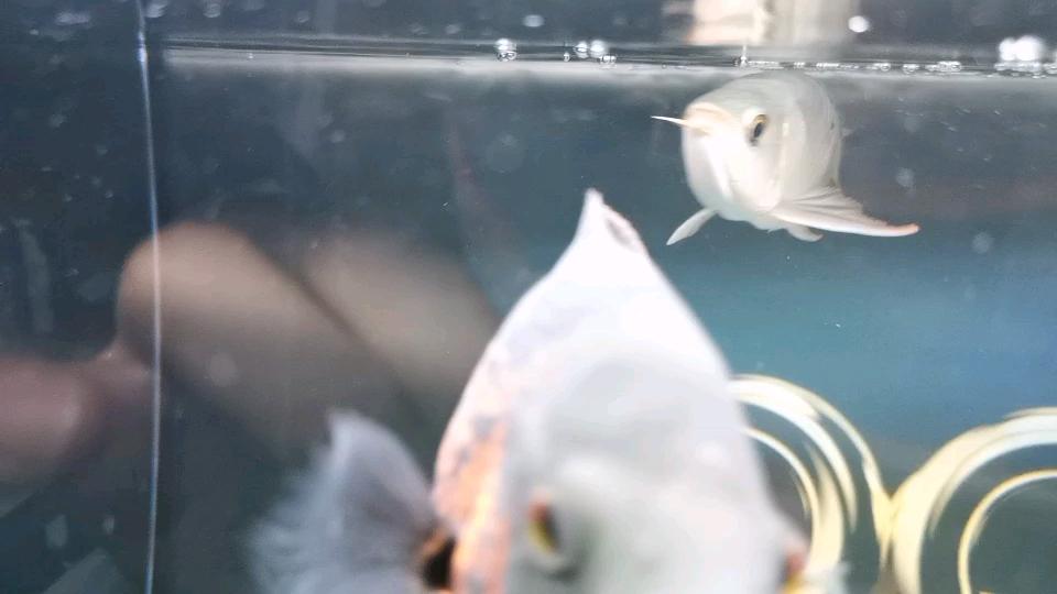 麻烦各位帮我看看是什么毛病鳞片松开 北京龙鱼论坛 北京龙鱼第1张