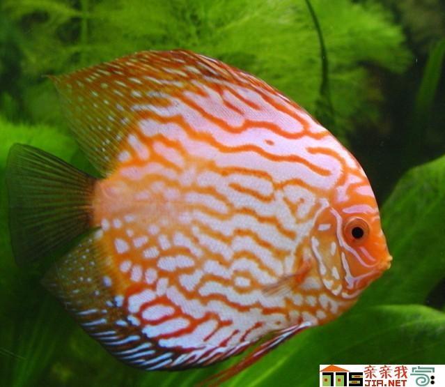 北京二手鱼缸转让满天星卷边了 北京观赏鱼 北京龙鱼第3张