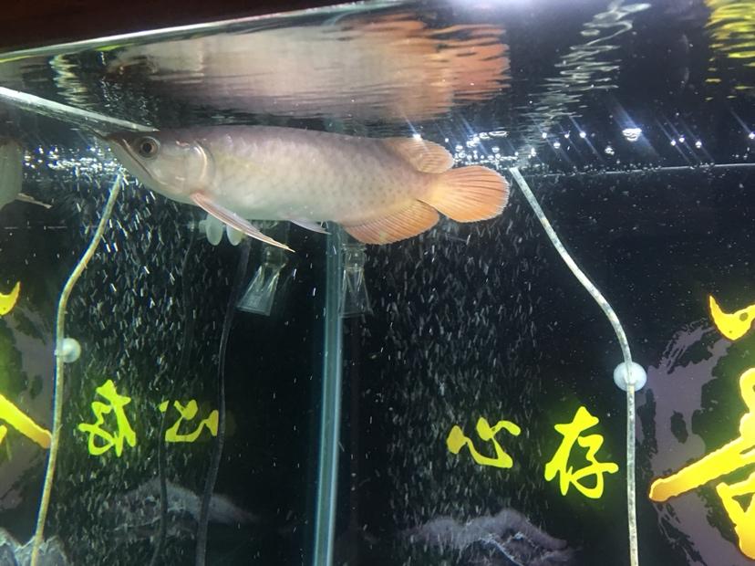 北京水族批发市场来来来都来评论一下 北京龙鱼论坛 北京龙鱼第1张
