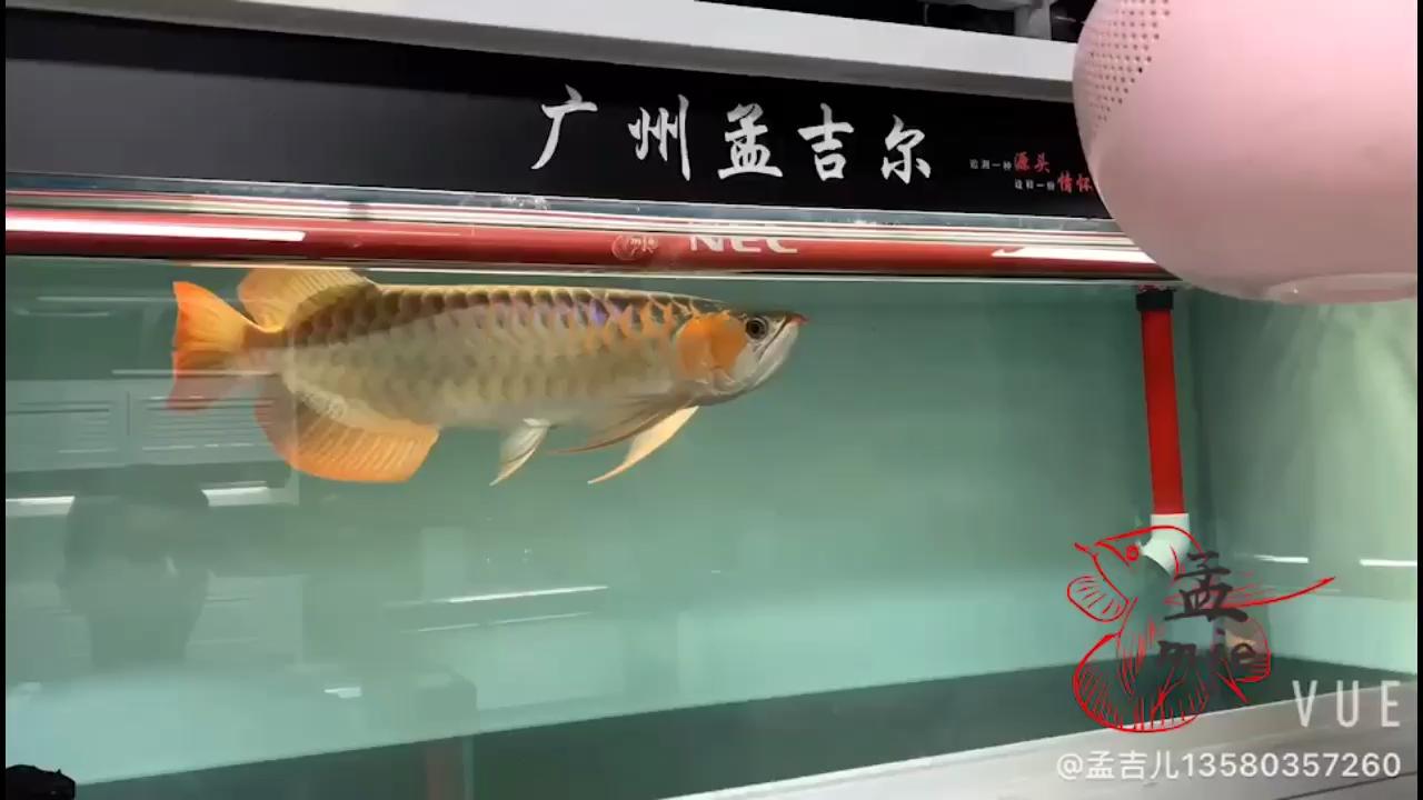 孟吉尔~万吉大尾巴大体型 北京观赏鱼 北京龙鱼第1张