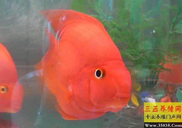 孟吉尔~万吉大尾巴大体型 北京观赏鱼 北京龙鱼第2张