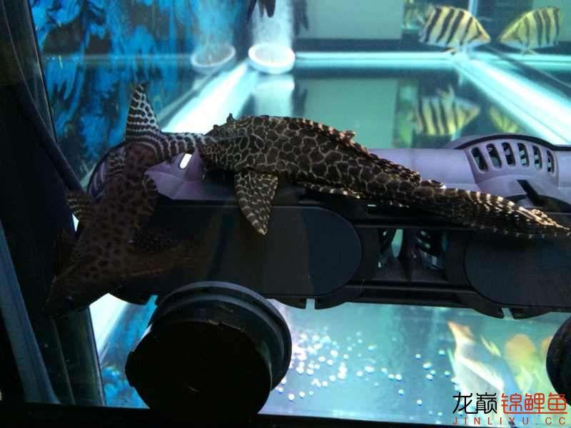 老族长锦鲤缸是我的鱼缸见解 北京观赏鱼 北京龙鱼第1张