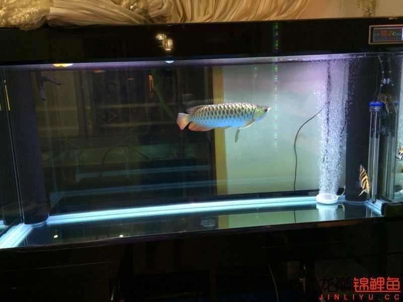 老族长锦鲤缸是我的鱼缸见解 北京观赏鱼 北京龙鱼第2张