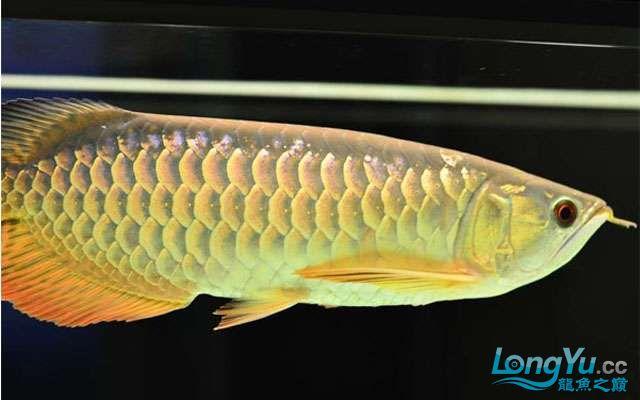 聊聊高背金龙鱼多北京宠物水族展大能变金 北京观赏鱼 北京龙鱼第1张
