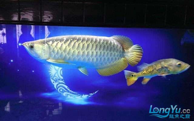 聊聊高背金龙鱼多北京宠物水族展大能变金 北京观赏鱼 北京龙鱼第2张