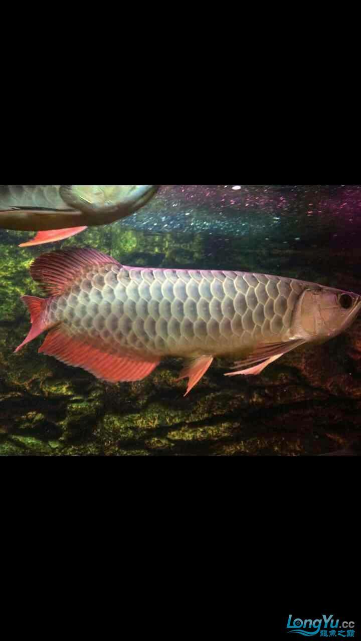 北京鱼缸水族批发市场请问这是金龙高背吗?? 北京观赏鱼 北京龙鱼第2张