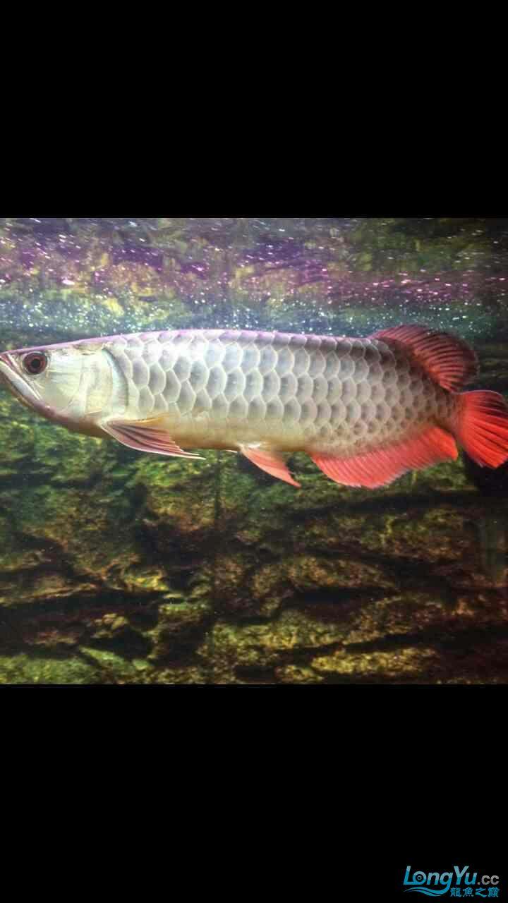 北京鱼缸水族批发市场请问这是金龙高背吗?? 北京观赏鱼 北京龙鱼第1张