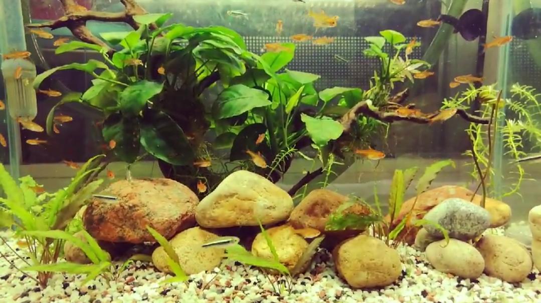 北京银龙鱼七彩鱼苗能和灯鱼混养吗?我想放在一个缸里 北京观赏鱼 北京龙鱼第1张