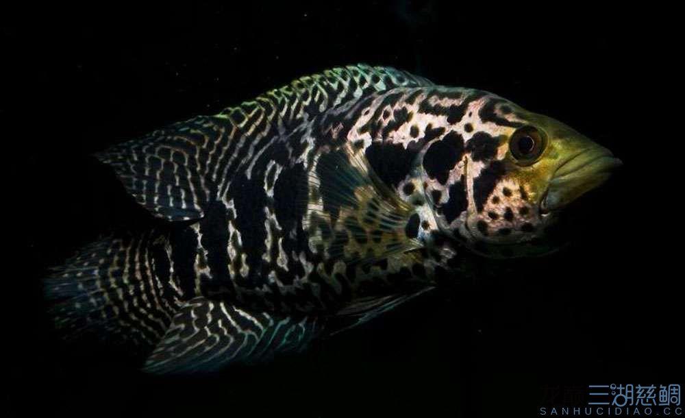 你想要的三湖 北京观赏鱼 北京龙鱼第4张