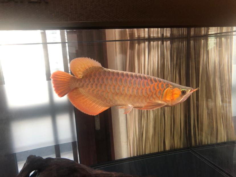 来个懂它的伯乐 北京龙鱼论坛 北京龙鱼第1张