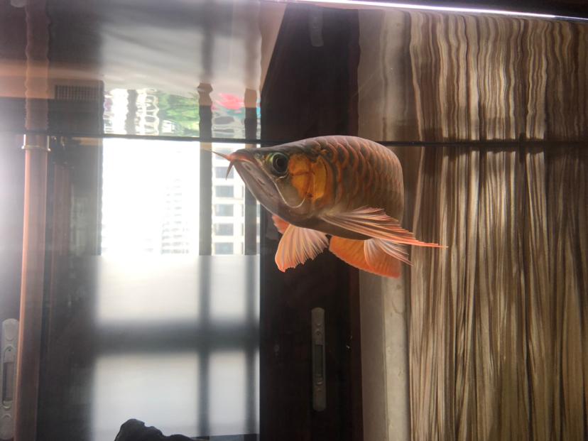 来个懂它的伯乐 北京龙鱼论坛 北京龙鱼第2张